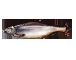 Small Ocean Fish